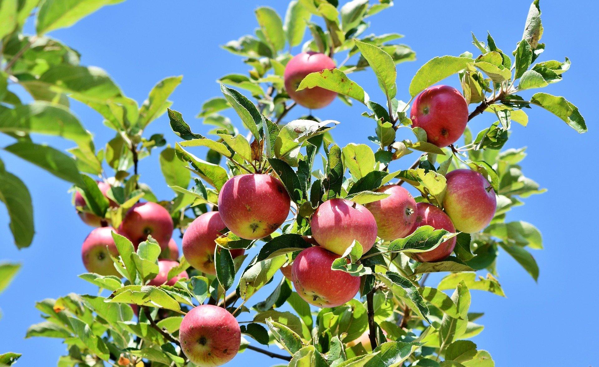 Fruitbomenactie: in 2019 zo'n 15000 fruitbomen aangeplant door heel Nederland